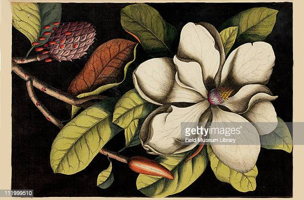 Laurel Tree of Carolina Plate 61 by Mark Catesby 1730s or early 1740s