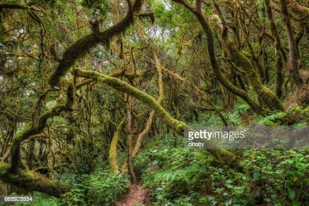 Forêt laurifère / Fog forest à Parc National de Garajonay à La Gomera / Espagne