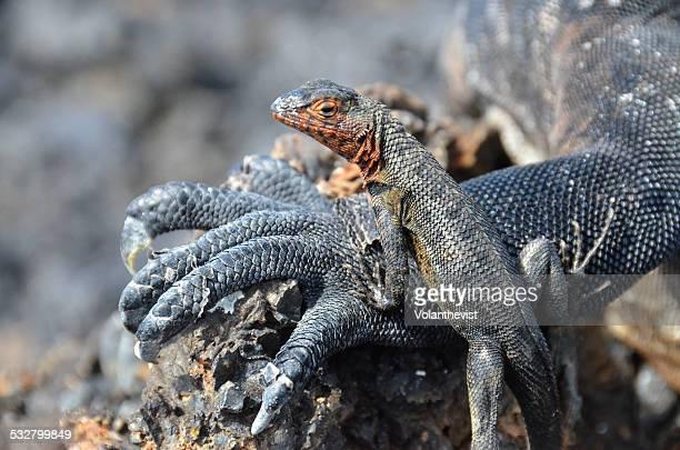 Lava lizard on land iguana's hand,