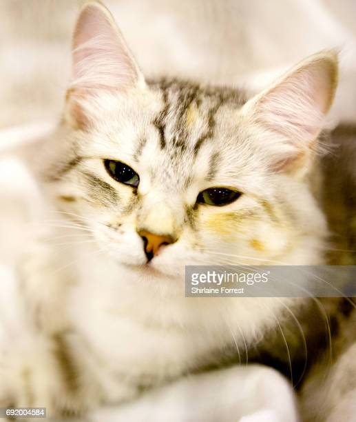 Lavalna SnowyBlizzard a Siberian kitten at Merseyside Cat Club Championship show at Sutton Leisure Centre on June 3 2017 in St Helens England