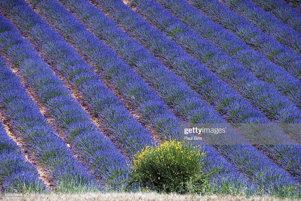 Lavander field : Stock Photo