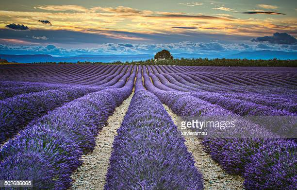 Lavander fields at dusk