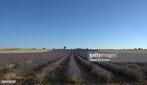 Lavander fields in the Alcarria ( spain )