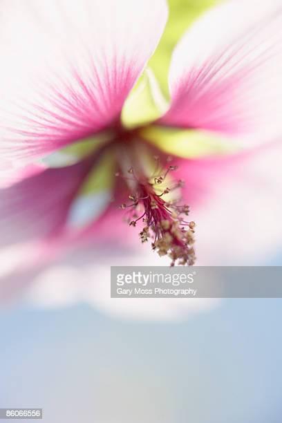 Lavatera flower