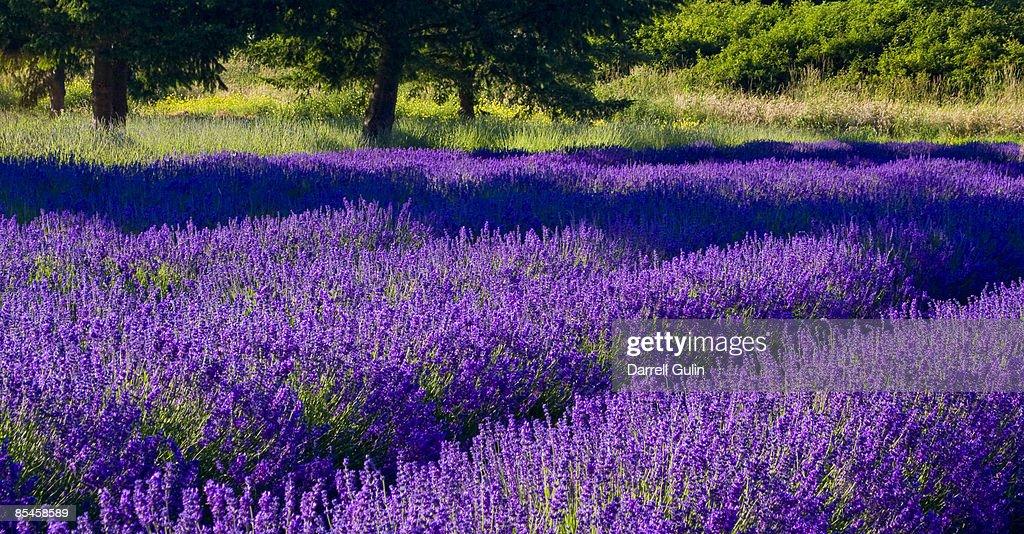 Lavendar Fields in Sequim Washington