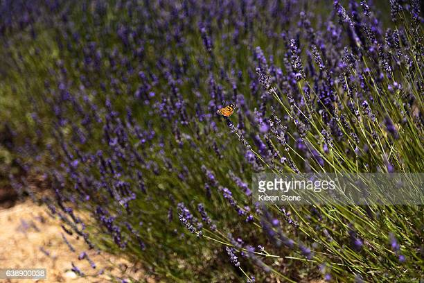 Lavender and butterfly