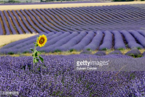 Lavender and sunflower : Stock Photo