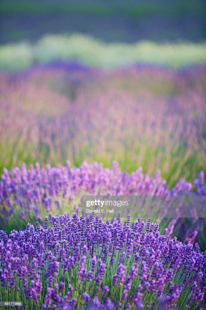 Lavender Bands of Color