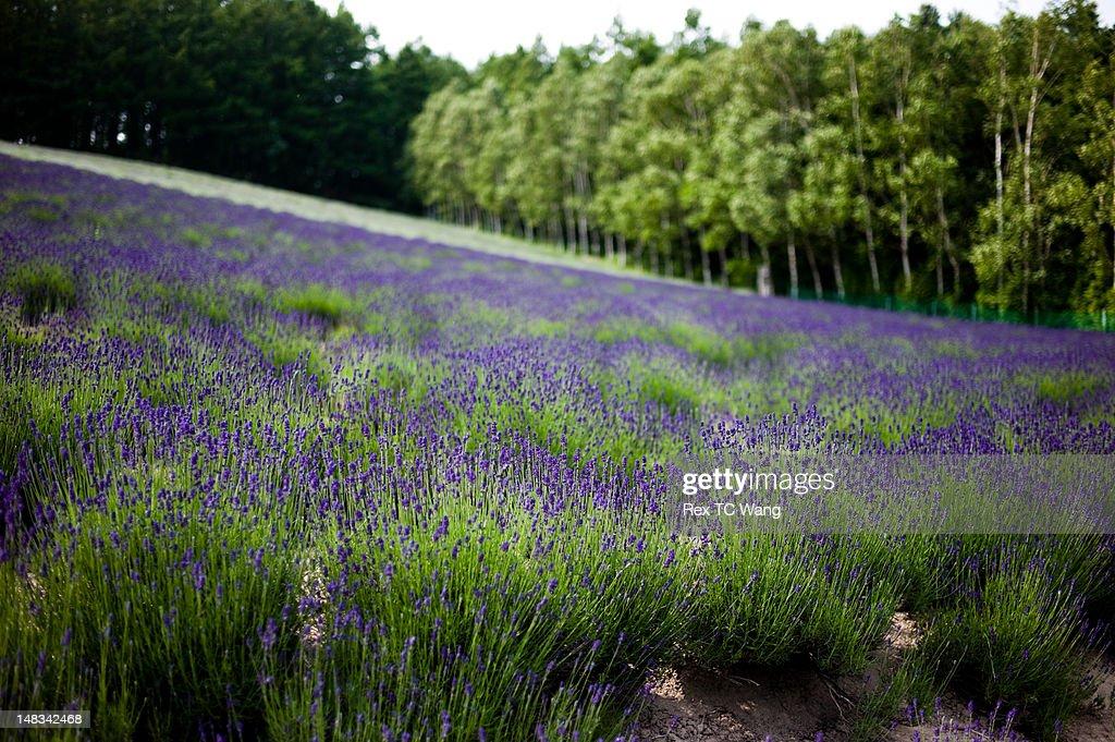 Lavender buds : Stock Photo