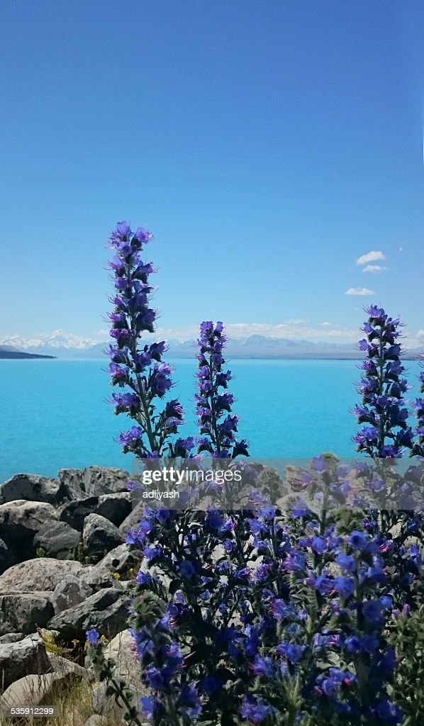 Lavender by the lake : Stock Photo