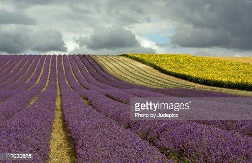 Lavender & Cloud