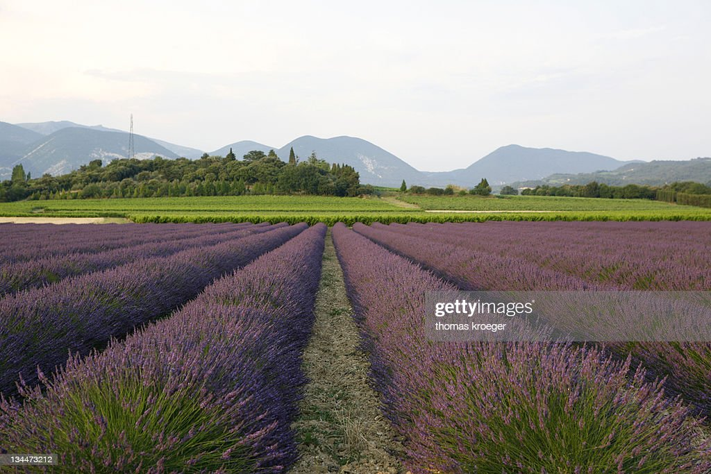 Lavender cultivation, lavender field at Le Pegu, Valreas, Vaucluse, Provence, southern France, France, Europe