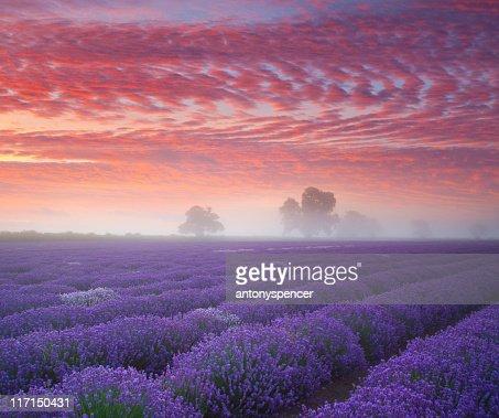 Lavender Farmland at sunrise...