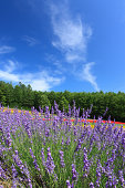 Lavender field and blue sky with clouds
