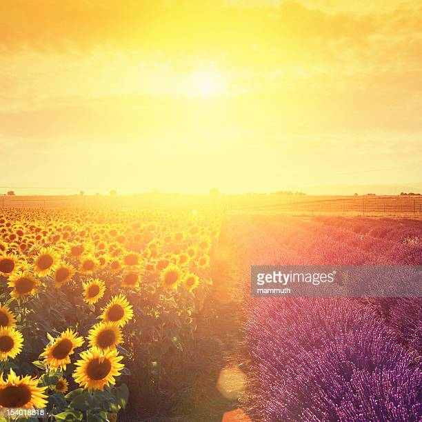 Lavender field and sunflowers at sunset