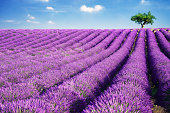 Lavender field and tree in summer