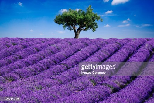 lavender field and tree stock photo getty images