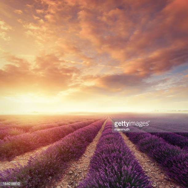 Lavender field at dawn