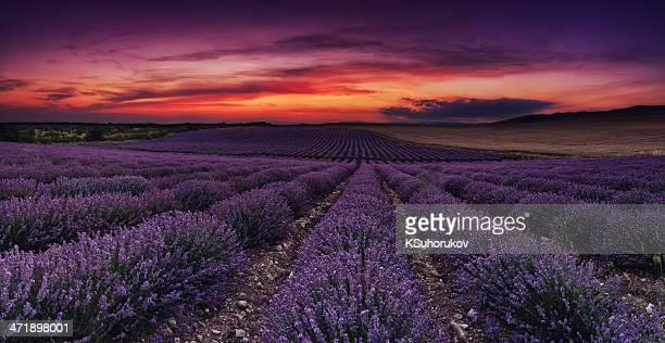 Lavendel Feld im Morgengrauen