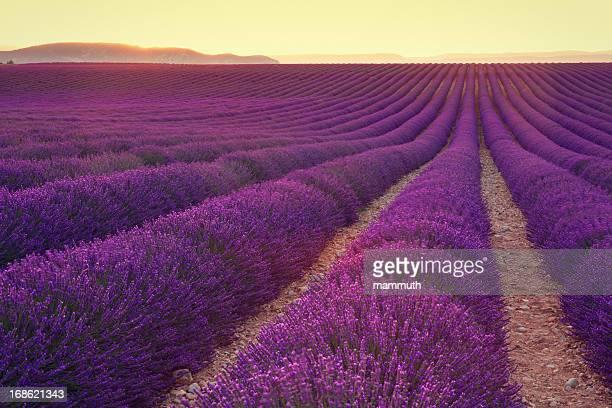 Lavendel-Feld in der Dämmerung