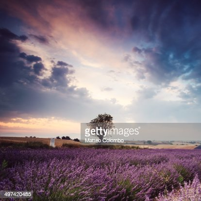 Lavender field at sunrise with single tree