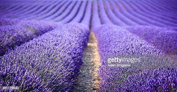 lavender field at sunset (focus on foreground)