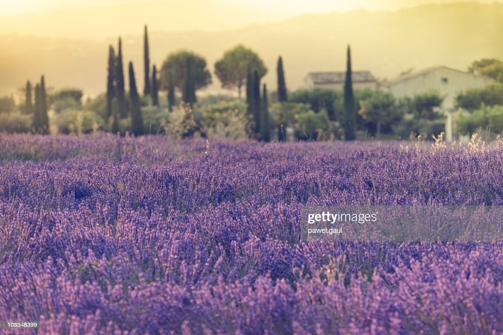Lavender field during sunset : Stock Photo