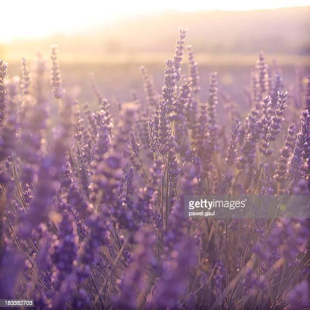 夕暮れ時のラベンダー畑