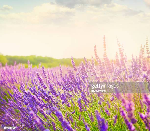 – Lavendelfeld in der Provence