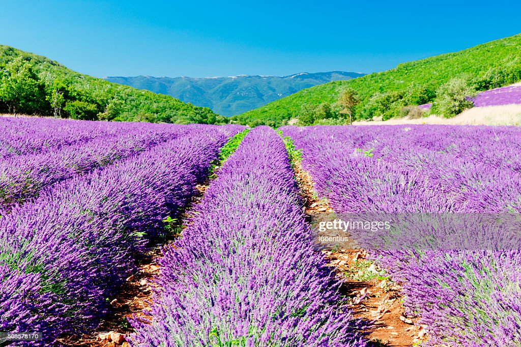 Lavender field in Provence : Stock Photo