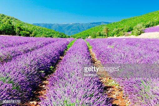 Lavender field in Provence : Stock Photo