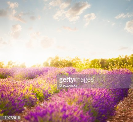 Lavender field in sunny day