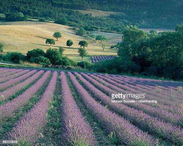 Lavender field near Ferrassieres, Drome, Rhone Alpes, France, Europe