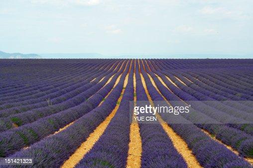 Lavender field : Stockfoto