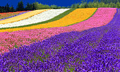 Lavender Field in Japan
