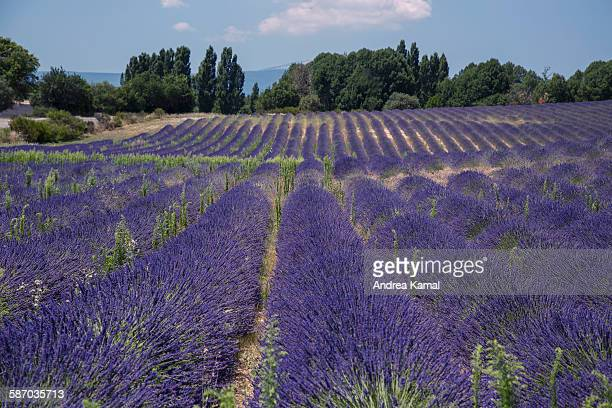 Lavender field, provence, South France