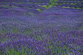 Lavender field, San Juan Island