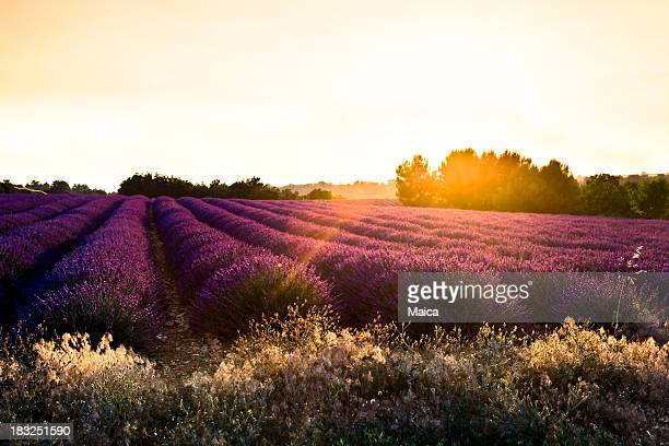 Lavender field, sun backlighted