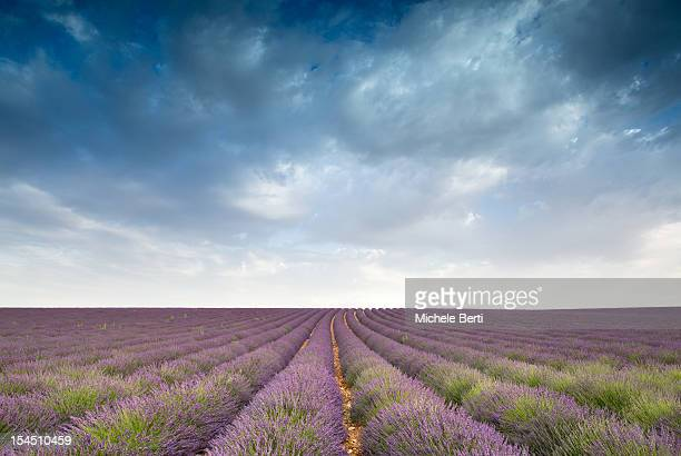 Lavender field with cloudy sky, provence, France