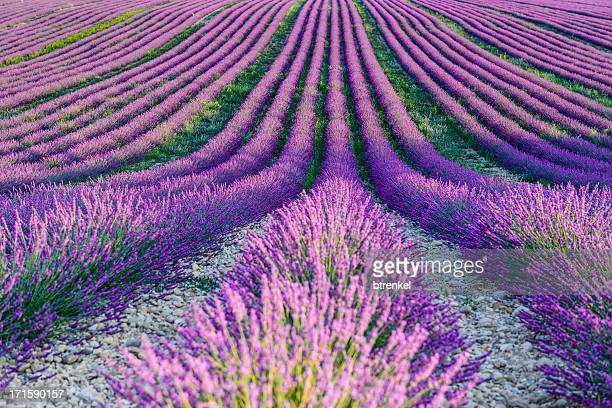 Lavender fields - close up