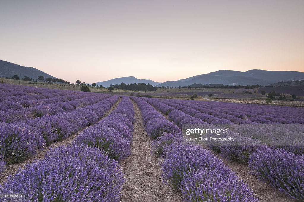 Lavender fields near to Sault at dawn. : Stock Photo