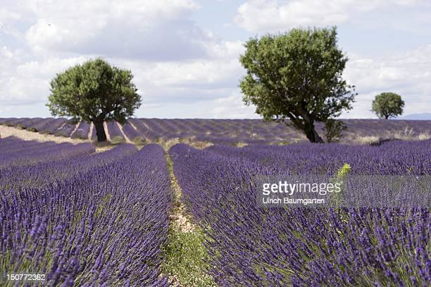 FRANCE VALENSOLE Lavender fields on the Plateau de Valensole