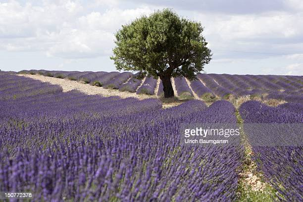 FRANCE VALENSOLE Lavender fields on the Plateau de Valensole