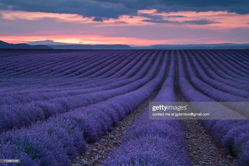 Lavender fields : Stock Photo