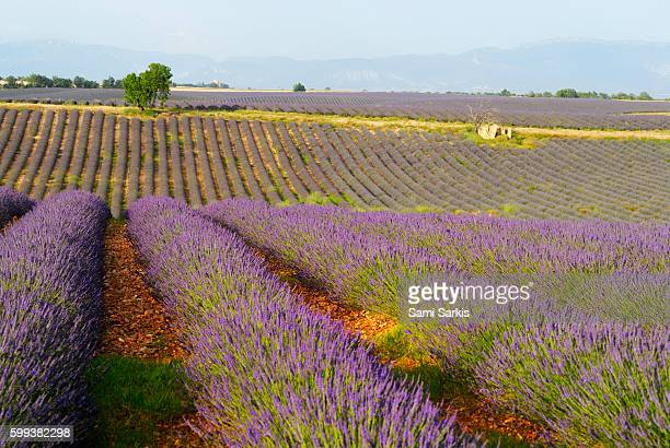 Lavender fields, Plateau de Valensole, Provence, France, Europe