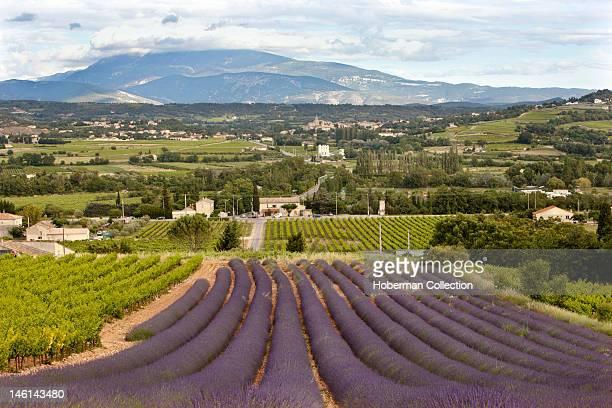 Lavender Fields Southern France