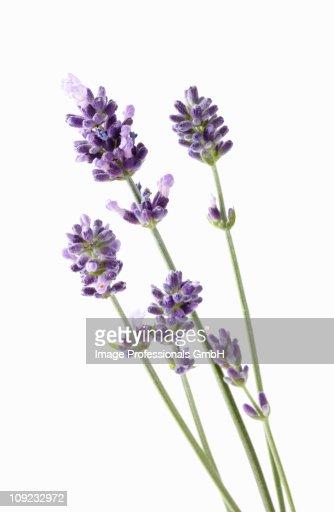 Lavender flower against white background