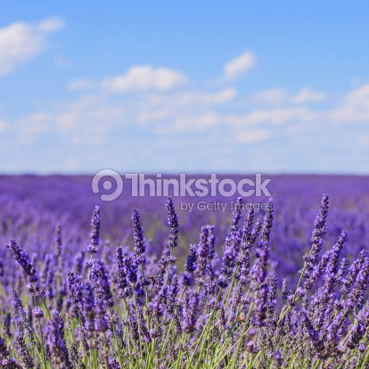Lavender flower blooming fields horizon. Valensole Provence, Fra : Stock Photo
