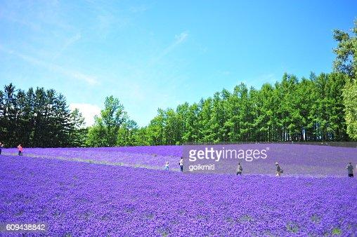 Lavender Flower Fields in Hokkaido, Japan : Stock Photo