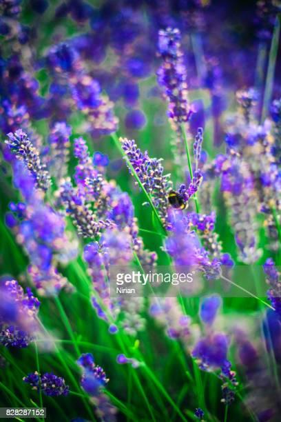 Lavendel Blumen und Hummel
